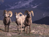 Bighorn Sheep  Rocky Mountain National Park  Colorado  USA