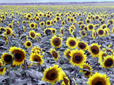 Sunflower Field  Jamestown  North Dakota  USA