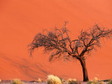 Acacia Tree in Front of Dune  Sossusvlei  Namibia