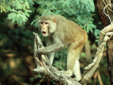 Rhesus Macaque  Aggression  India