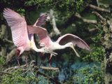 Roseate Spoonbills  Taking Off  Texas  USA
