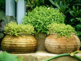 Solerolia Solerolli (Mind Your Own Business) in Squat Terracotta Pots Chelsea Flower Show 1997