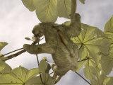 Three-Toed Sloth  Feeding  Costa Rica