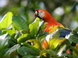 Scarlet Macaw  Peering Through Leaves  Costa Rica