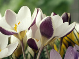Crocus Chrysanthus  Eye Catcher (White/Maroon) Open Flower  March