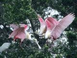Roseate Spoonbills  Aggressive Behaviour  Texas  USA