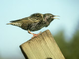 Starling  Sturnus Vulgaris Calling on Fence Post  S Yorks