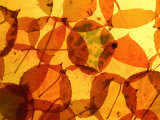 Collection of Aspen Leaves That are Bright Yellows and Oranges