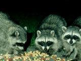 Raccoons  Feeding  USA