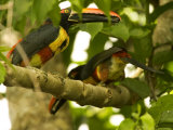 Fiery-Billed Aracari  Two Aracaris on Branch of Tree  Costa Rica