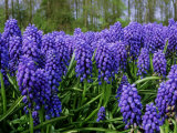 Muscari Armeniacum Syn  Muscarimia (Grape Hyacinth)  Bright Blue Flowers with White Mouths