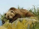 Alaskan Brown Bear  Alaska  USA