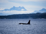 Killer Whale  Male at Surface  BC  Canada