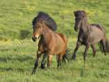 Icelandic Horses Running Across Meadow  Iceland