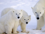 Polar Bears  Mother and Young  Manitoba  Canada