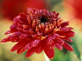 "Chrysanthemum ""Rumpelstilzchen"""