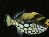 Big-Spotted Triggerfish  Balistoides Conspicillum