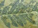 Fern Leaf  Neuropteris Species Carboniferous  PA  USA