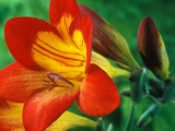 Freesia (Figaro)  Close-up of Orange and Yellow Flowers
