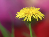 Common Dandelion  Flower  TN