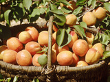 Apricot  Fruits in Basket in Basket  Beneath Bough with Fruit