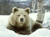 European Brown Bear  Ursus Arctos Male Sat on Snow Norway