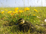 Mallard  Duckling in Wildflower Meadow  UK