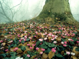 Cyclamen  Eynsham Hall  UK