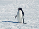 Adelie Penguin in Snow  Antarctica