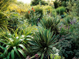 Sub Tropical Planting of Yucca  Kniphofia (Red Hot Poker) and Sedum (Stonecrop)