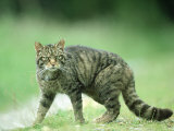 Scottish Wildcat  Felis Sylvestris  Male  June Highlands  Scotland