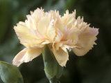 Dianthus  Devon Cream (Pink)