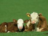 Hereford  Bos Taurus 2 Young Calves Lying in Meadow Yorkshire  UK