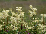 Meadowsweet  Orkeney Mainland