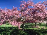 Prunus Tree  Montreal  Quebec  Canada