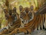 Bengal Tiger  11 Month Old Juveniles  Madhya Pradesh  India