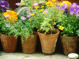 Annuals in Pots  Brachycome Multifida  Viola & Tagetes Pebble Chelsea Flower Show 1997