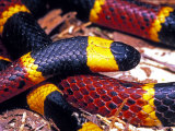 Eastern Coral Snake  Alachua Co