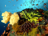 Reef with Crinoids  Komodo  Indonesia