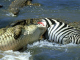 Nile Crocodile  Eating a Common Zebra  Masai Mara