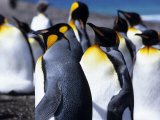 King Penguins (Aptenodytes Patagonica)  Falkland Islands