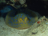 Blue Spotted Sting Ray  Ras Mohammed  Red Sea