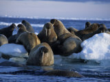 Walrus  Group on Ice  Canada