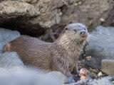 European Otter Eating an Eel on a Rocky Shore  Scotland