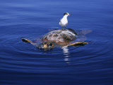 Loggerhead Turtle  with Tern on Back  Azores  Atlantic Ocean