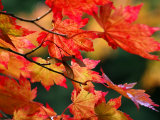 Acer Japonicum Vitifolium (Vine-Leaved Full Moon Maple)