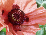 Papaver Orientale Pizzicato (Oriental Poppy)