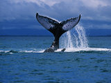 Humpback Whale  a Whale Tail Slapping  Sainte Marie Island  Indian Ocean