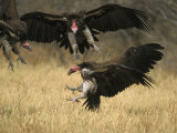 Lappet-Faced Vulture  Three in Air  Fighting Over Food  Botswana