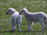 Young Lambs in Field of Daisies  Scotland